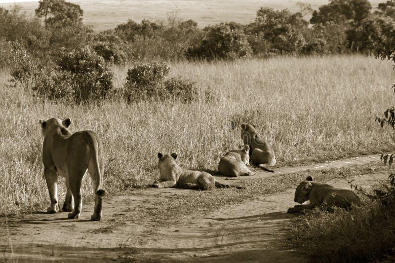 Lion pride. (Panthera leo), Masai Mara Game Reserve, Kenya stock photos