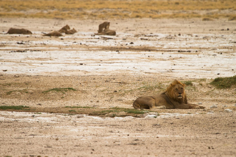 Lion pride. Safari Etosha, Namibia Africa stock images