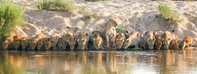 Lion pride drinking in Kruger national park south africa. 20 lions drinking in Kruger national park south africa stock image