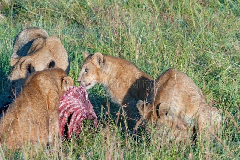 Lion pride feeding a zebra, Serengeti, Tanzania stock images