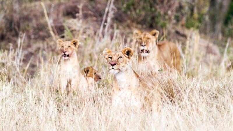 Lion Pride Lying im hohen Gras stockfotos