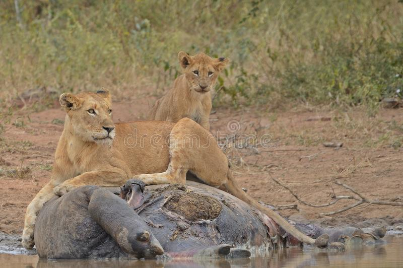 Lion pride (Panthera leo Krugeri) at Hippo kill. In Kruger National Park, South Africa royalty free stock photography