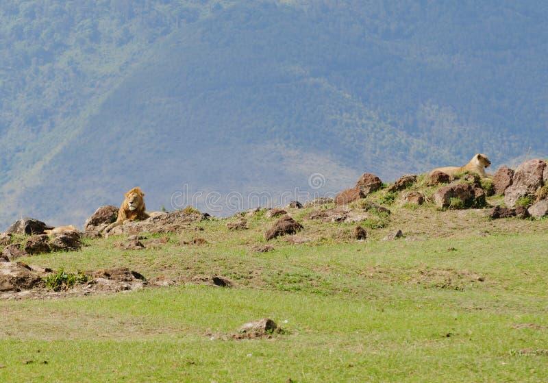 Lion pride resting in the Ngorongoro. Lion pride scientific name: Panthera leo, or `Simba` in Swaheli in the Ngorogoro National park, Tanzania royalty free stock image