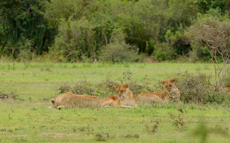 Lion pride resting in the serengeti. Lion pride resting Panthera leo, or `Simba` in Swaheli image taken on Safari located in the Serengeti National park stock photo