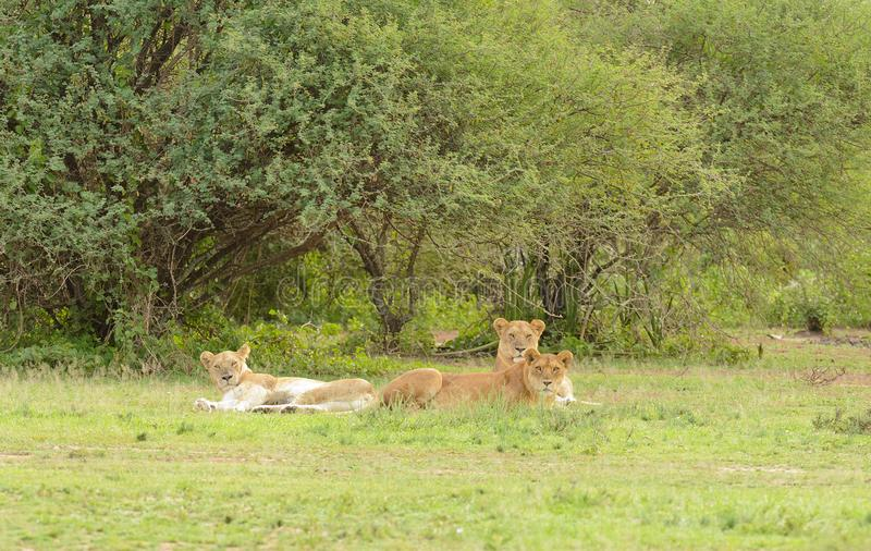 Lion pride resting in the serengeti. Lion pride resting Panthera leo, or `Simba` in Swaheli image taken on Safari located in the Serengeti National park royalty free stock photo