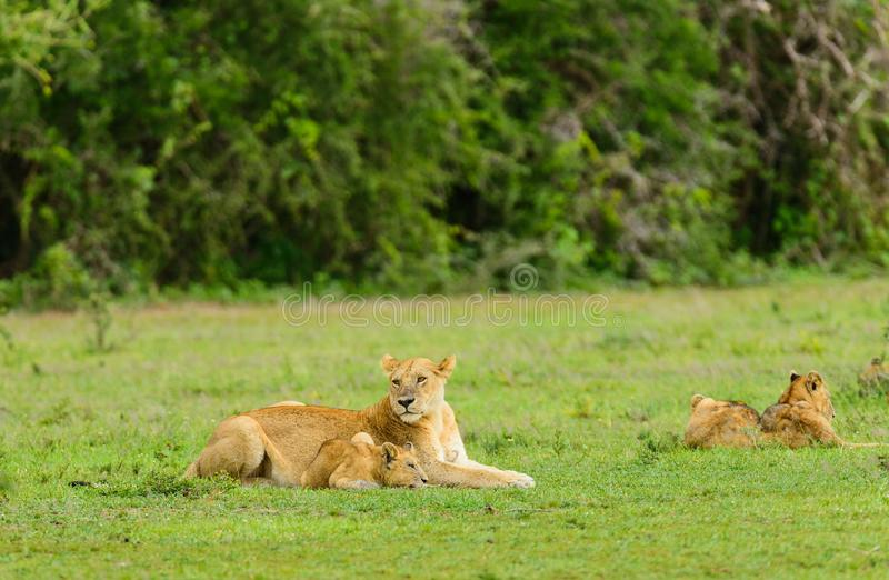 Lion pride resting in the serengeti. Lion pride resting Panthera leo, or `Simba` in Swaheli image taken on Safari located in the Serengeti National park stock photos