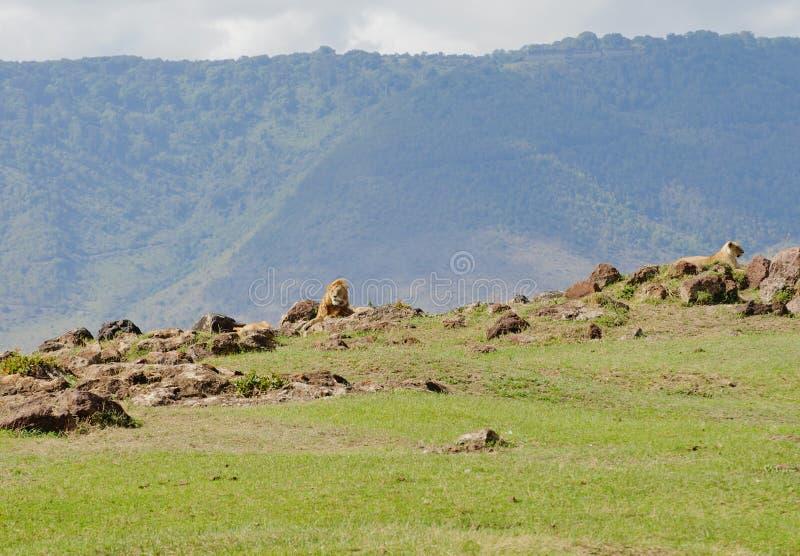 Lion pride in the Ngorongoro. Lion pride scientific name: Panthera leo, or `Simba` in Swaheli in the Ngorogoro National park, Tanzania stock images