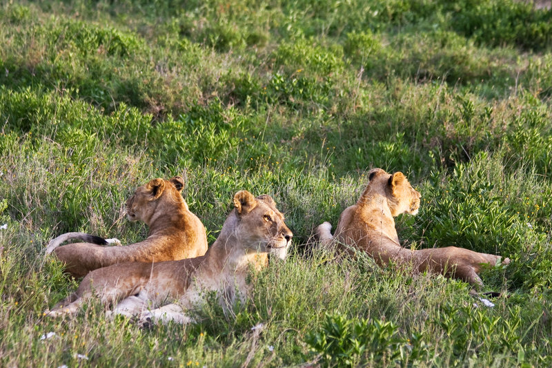 Lion Pride in Serengeti royalty free stock photos
