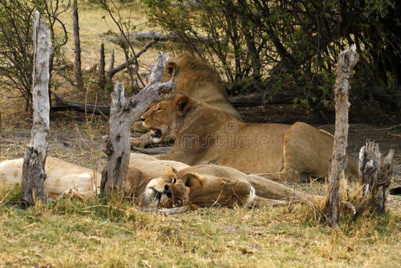 Lion Pride Siesta fotografia stock libera da diritti