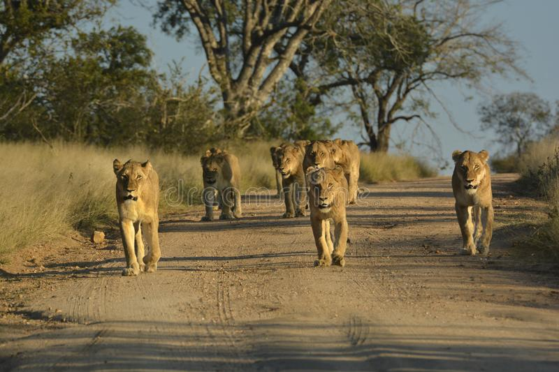 Lion pride walking on sand road stock photography