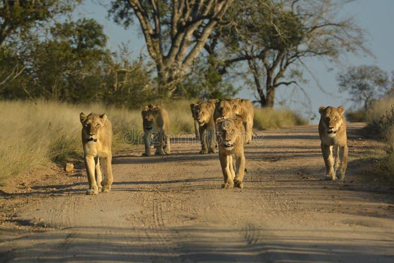 Lion pride walking on sand road. In Kruger National Park stock photography