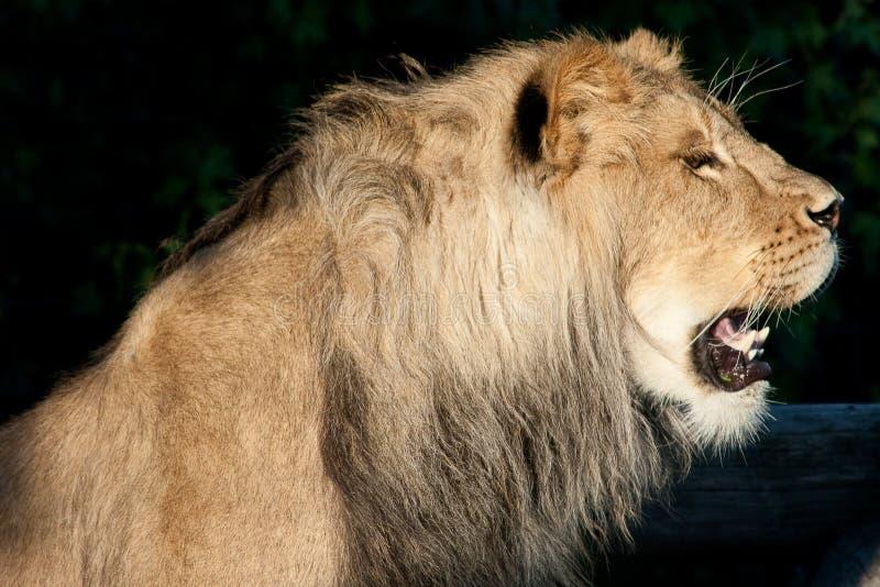 Download Lion Profile stock image. Image of studio, carnivore - 10573453