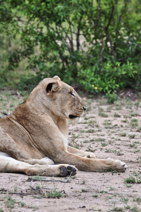 Download Lion profile stock image. Image of profile, kruger, dirt - 9560811