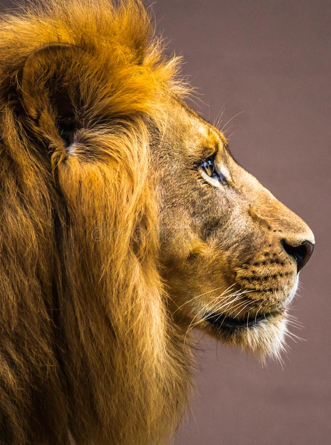 Lion Profile stockbilder
