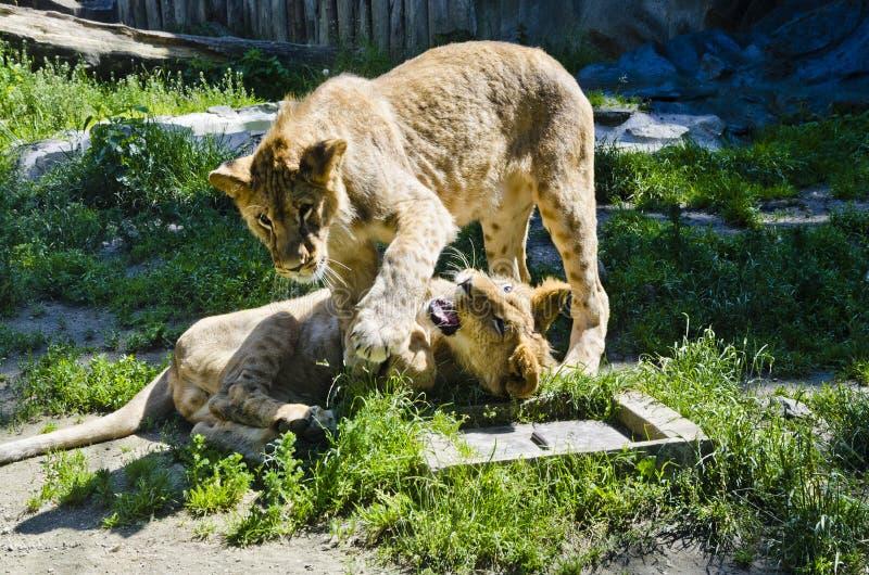 Lion pubs, Olomouc Zoo. Two lion pubs playing at Olomouc Zoo stock photos