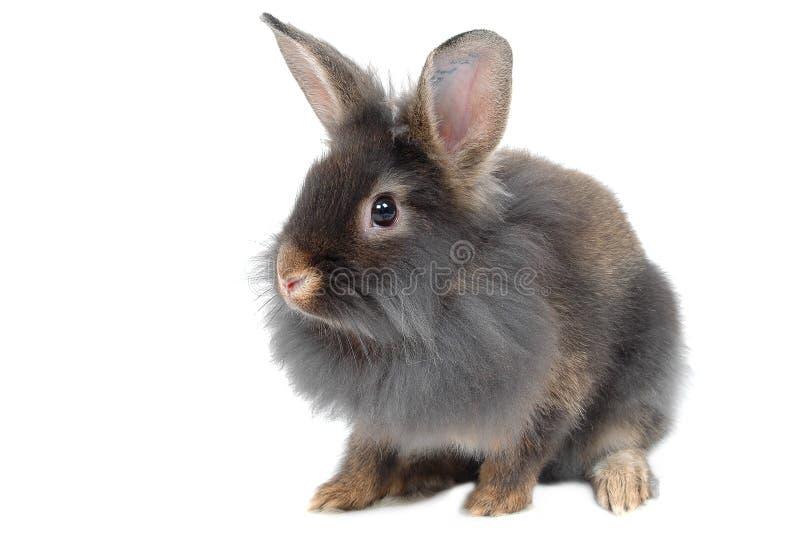 lion rabbit 免版税库存图片