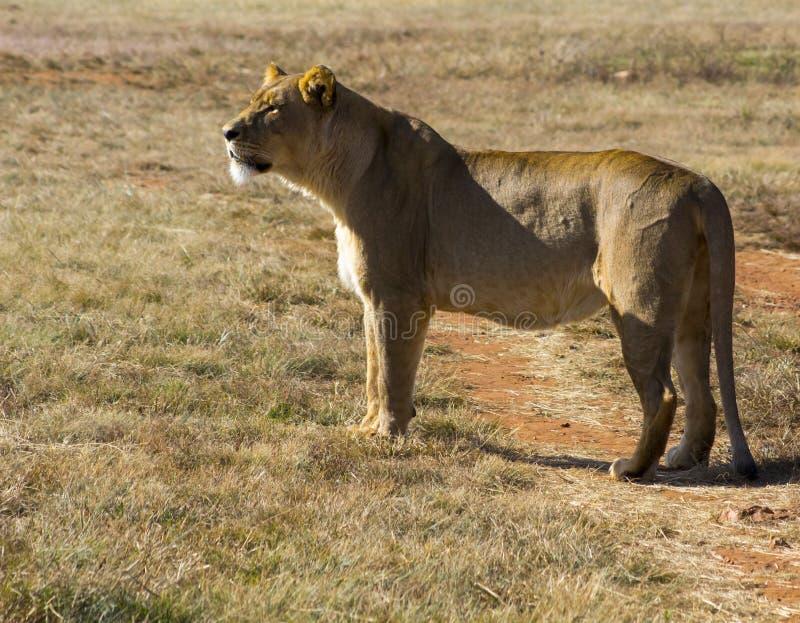 Lion recherchant la nourriture en plaines image stock