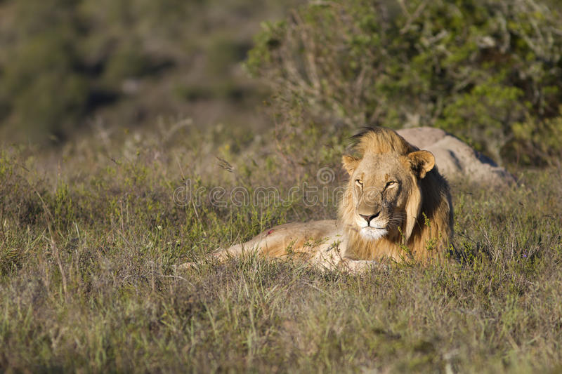 Download Lion Relaxes On Grassland Royalty Free Stock Photography - Image: 16733557