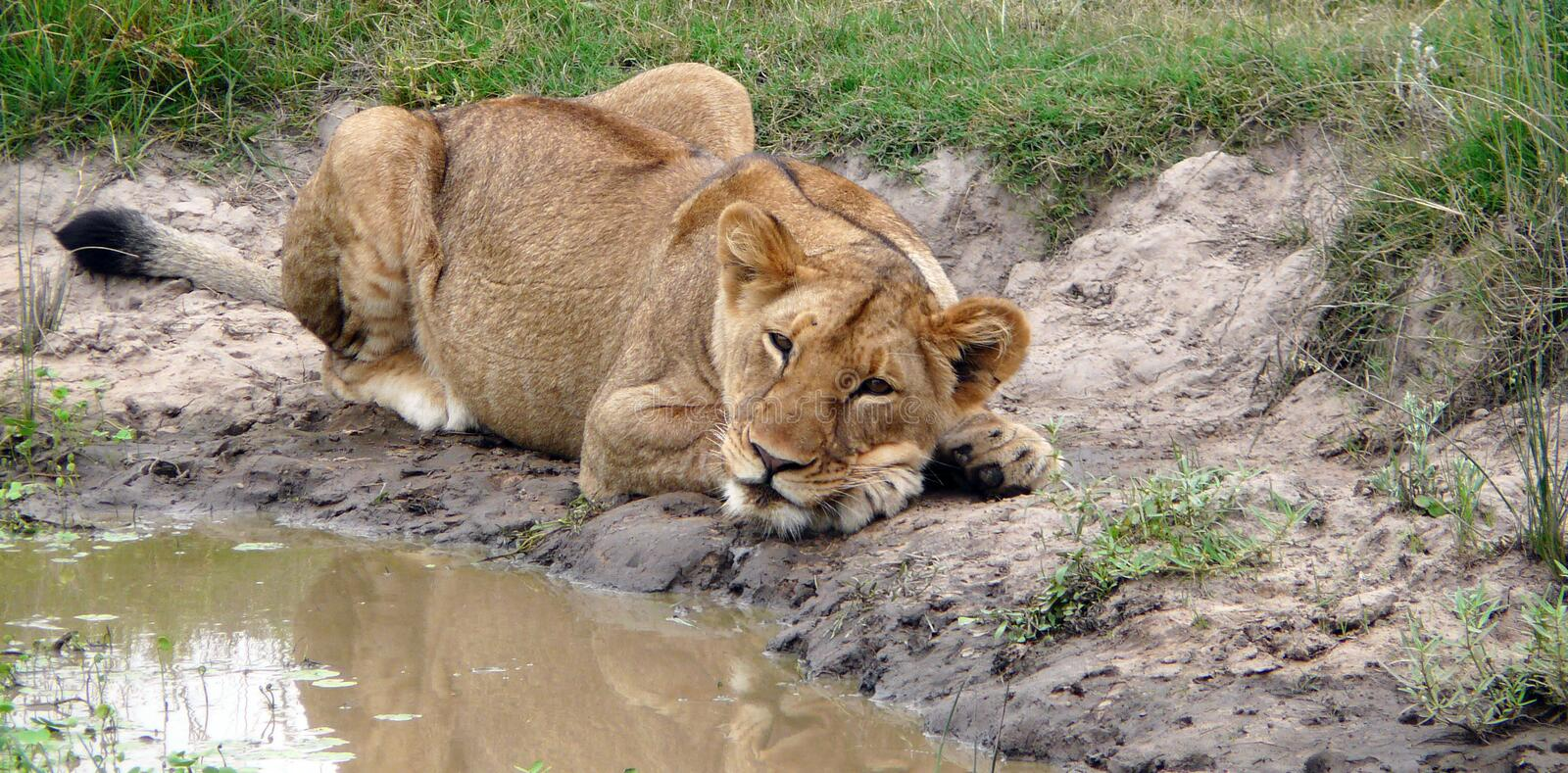 Lion Relaxing Royalty Free Stock Image