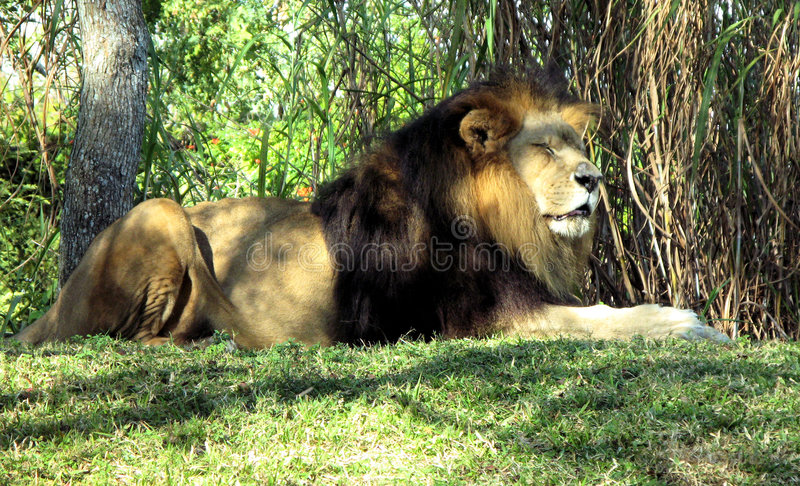 Download Lion resting stock photo. Image of real, outside, african - 3826114