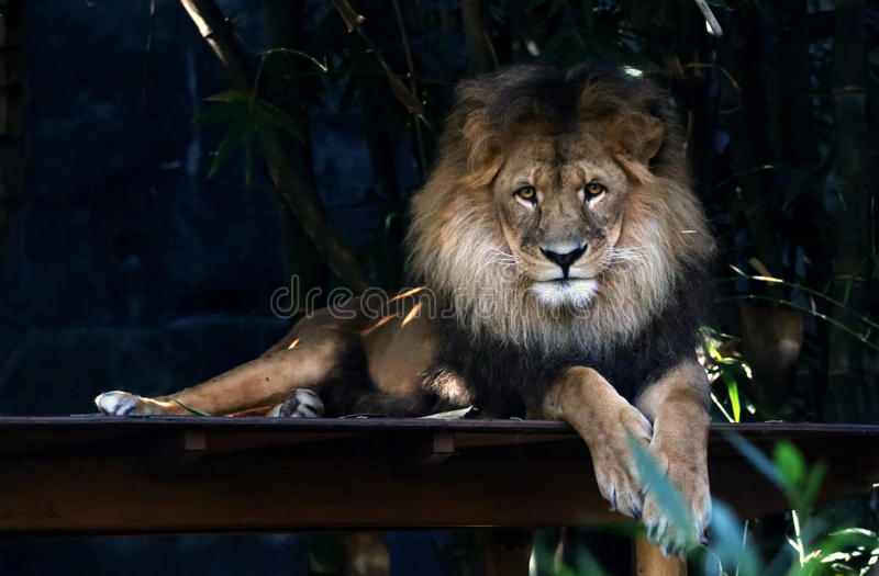 Lion. Resting adult lion with long mane royalty free stock photography