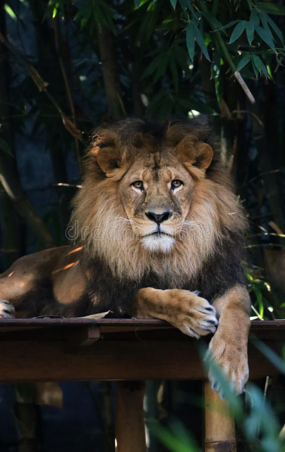 Lion. Resting adult lion with long mane royalty free stock image