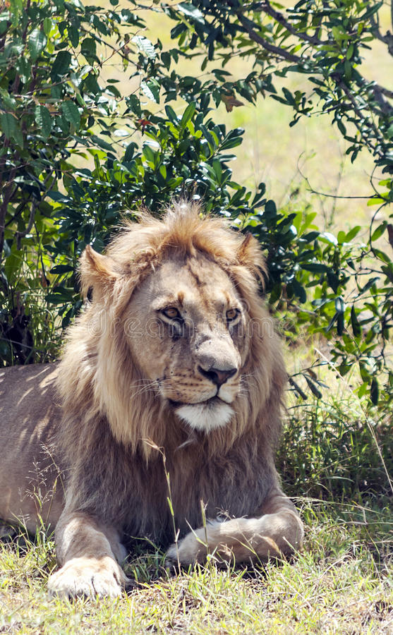 Lion resting. In the branches of a tree. It is an image vertically on a sunny day royalty free stock photos