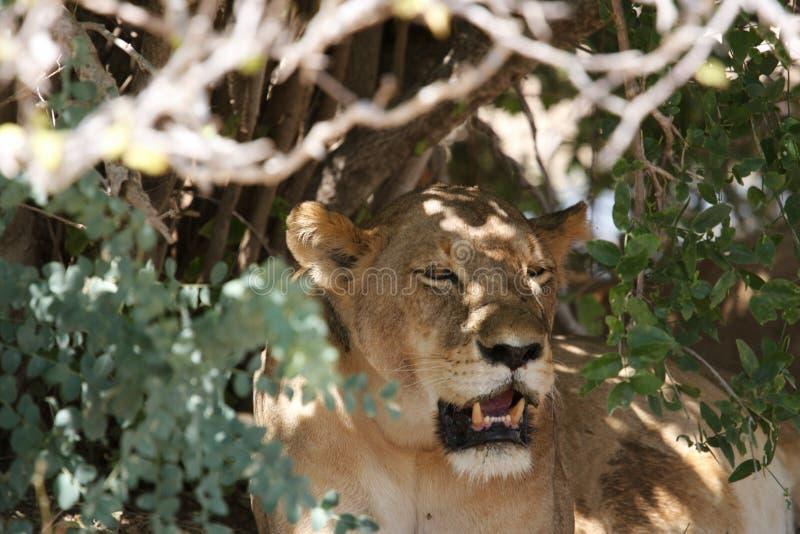 Lion in Ruaha National Park, Tanzania stock image