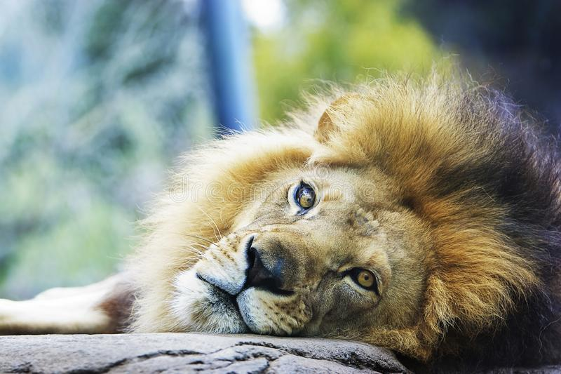 Lion Resting Head on Rock stock photos