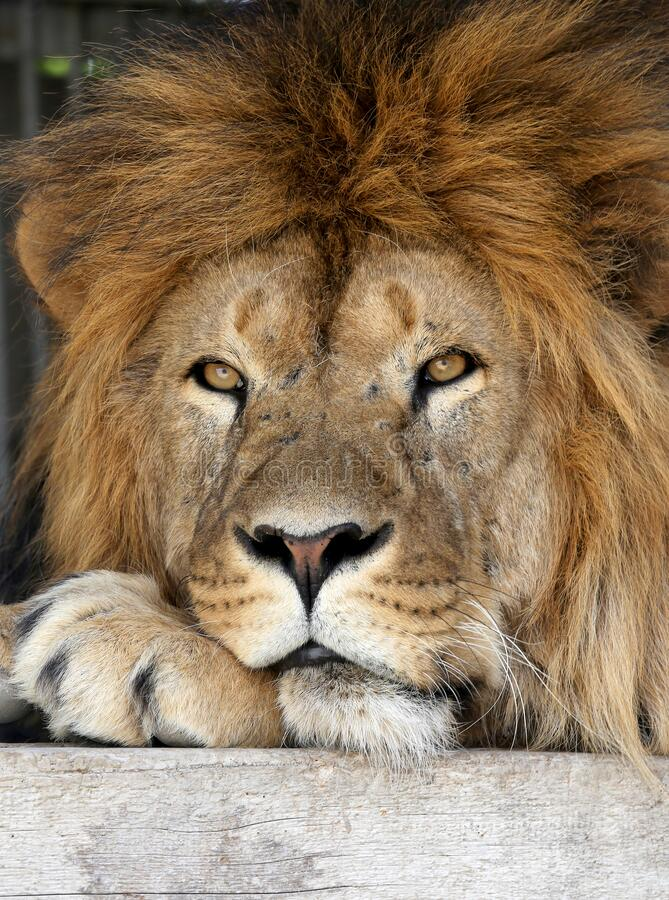 Lion resting on a hot summer day royalty free stock photography