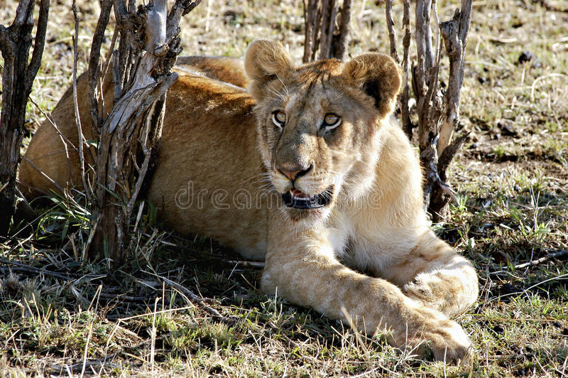 Download Lion Resting, Kenya Africa stock photo. Image of adventure - 10658686