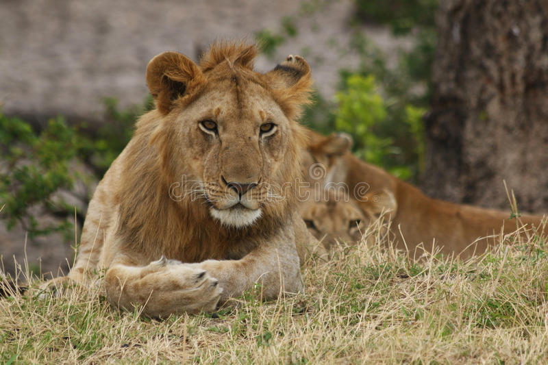 Lion Resting Beside Lioness op de Savanne royalty-vrije stock foto
