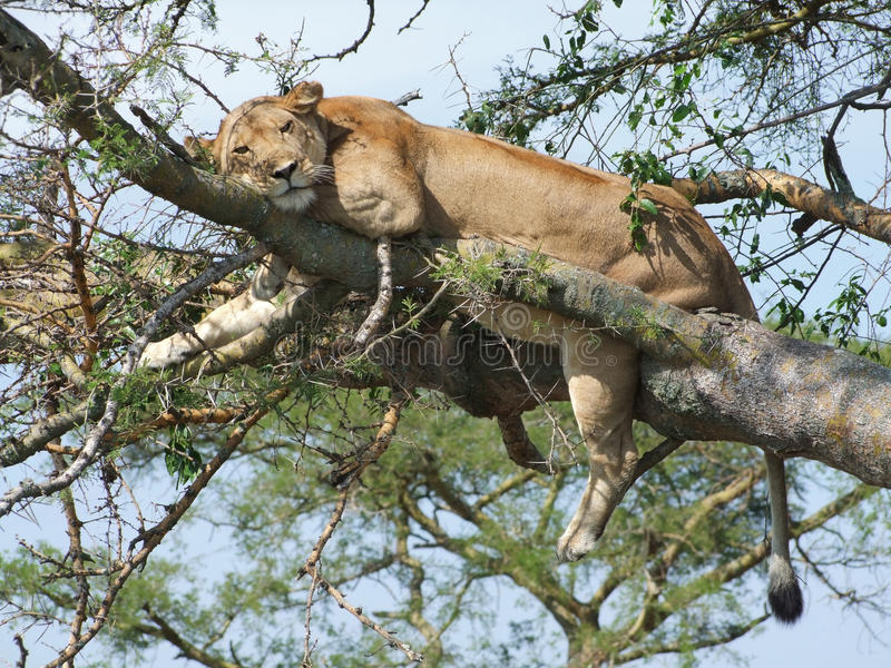 Lion resting on a tree royalty free stock photos