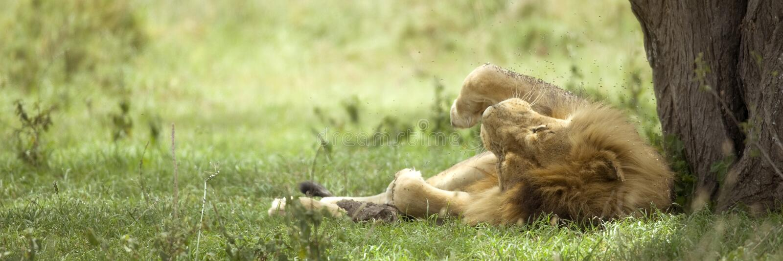 Download Lion resting under a tree stock image. Image of herbivorous - 7136977