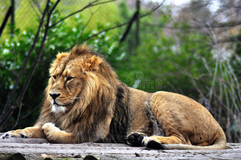 Lion rests