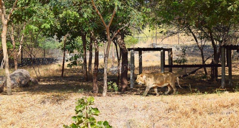 Lion Roaming asiático en parque zoológico con alrededores naturales debajo de árboles imagen de archivo