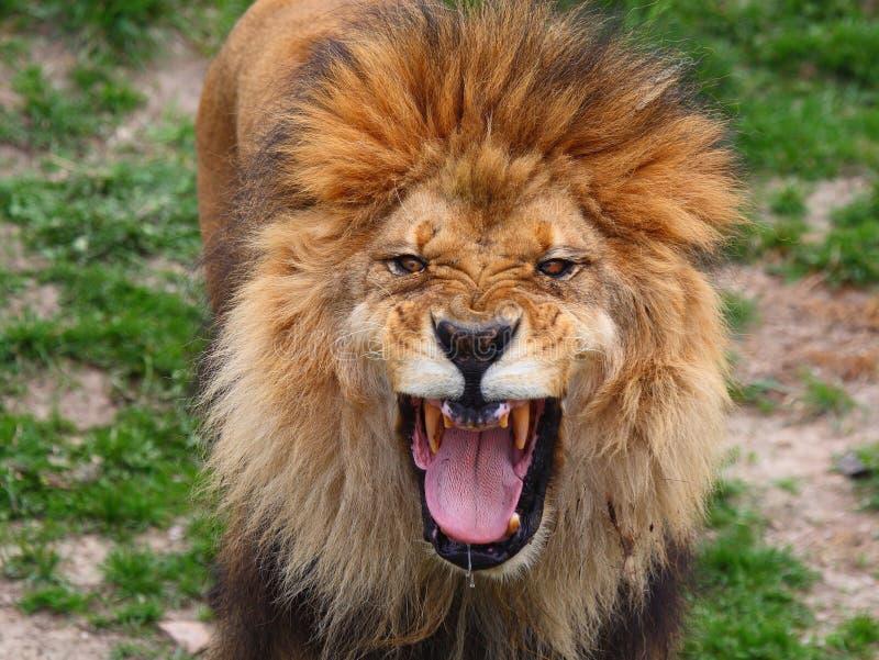 Download Lion roar stock photo. Image of roar, mouth, lion, green - 5086828