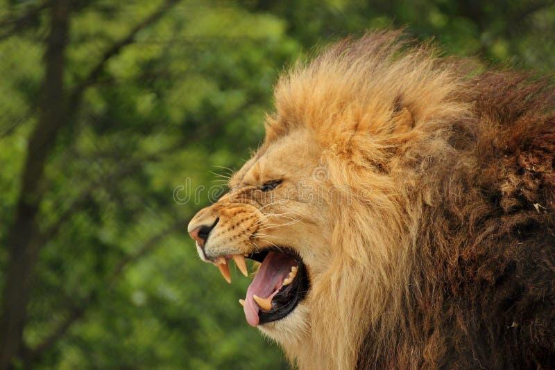 Image Of A Roaring Lion Dowload: Lion Roar Stock Photo. Image Of Roar, Predator, Lion