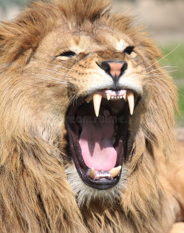 Free Lion Roaring Royalty Free Stock Photos - 13703248