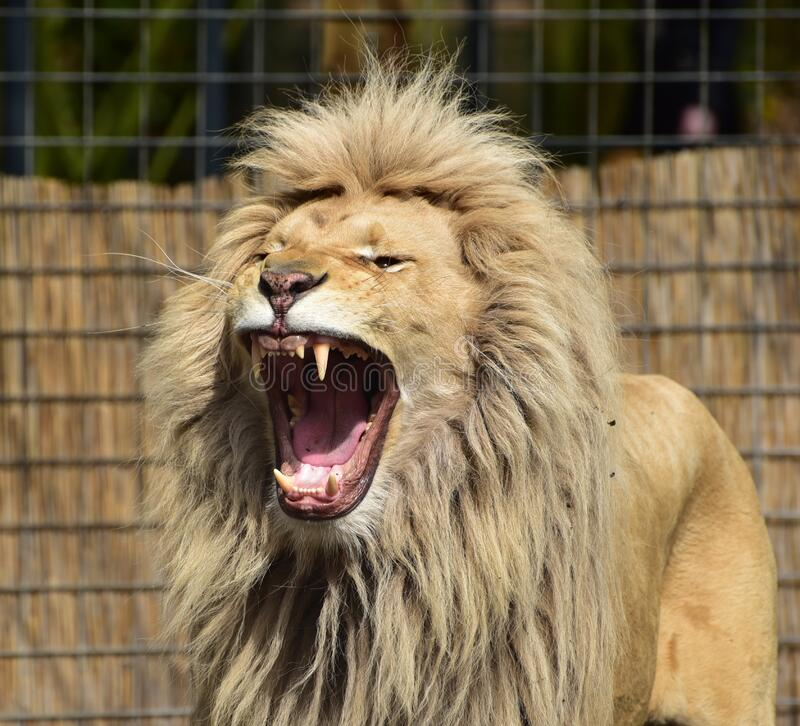 Lion Roaring Inside Cager stock photography