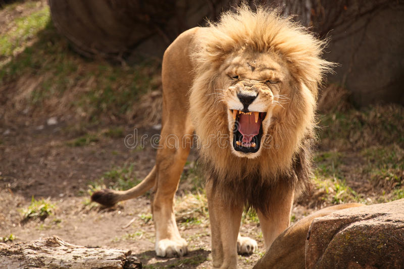 Lion Roaring or laughing royalty free stock photos