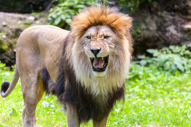 Lion roars royalty free stock images