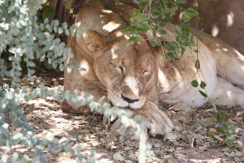 Lion in Ruaha National Park, Tanzania stock photos