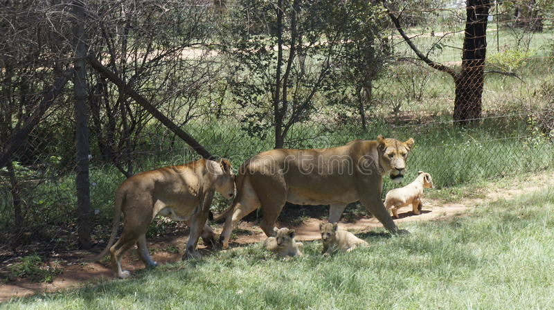 Lion`s family with cubs are walking, South Africa stock photography