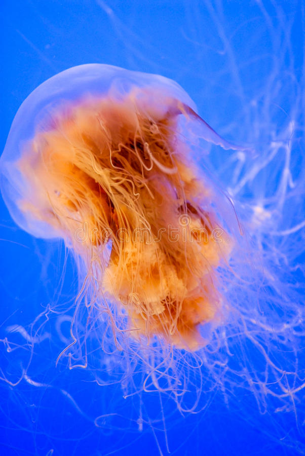 Lion's Mane Jellyfish royalty free stock image