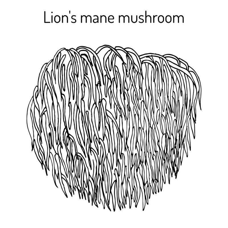 Free Lion S Mane Mushroom Hericium Erinaceus , Edible And Medicinal Plant Stock Photo - 171322620