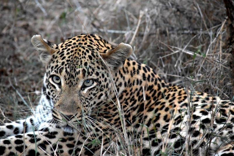Lion Sabi Sand Safari South Africa fotografia de stock