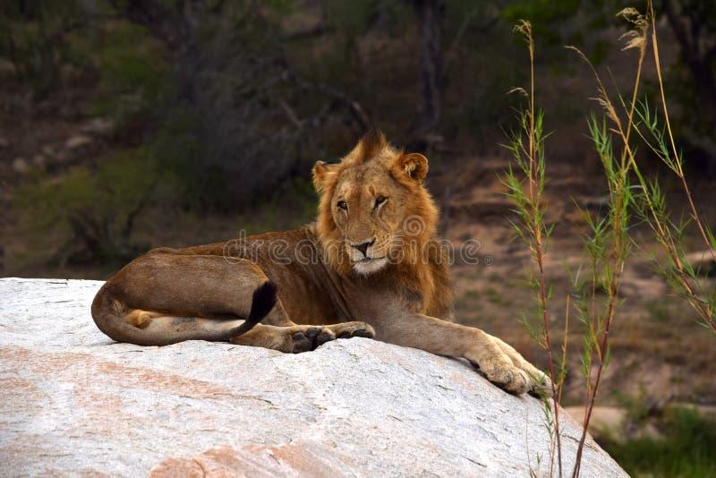 Lion Sabi Sand Safari South Africa fotos de stock
