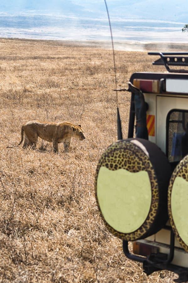 Lion Safari fotografia stock