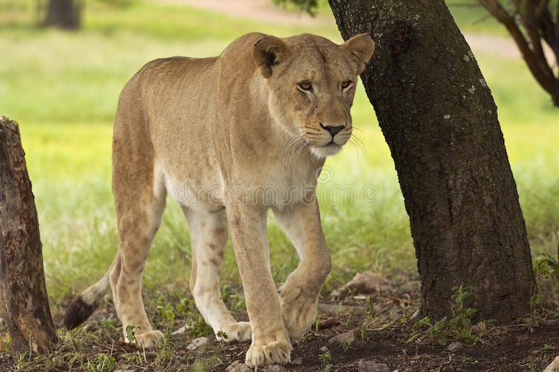 Lion in safari park in South Africa. Walking lion looking for food in safari park in South Africa royalty free stock photos